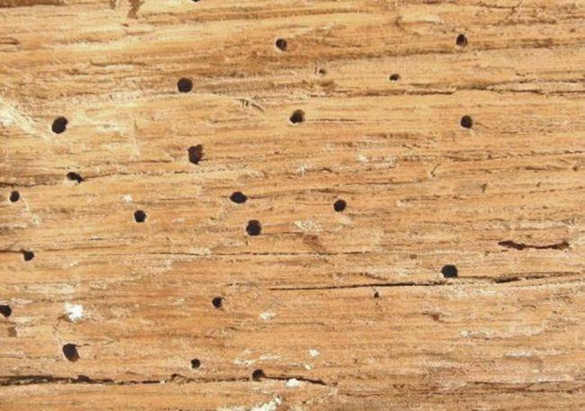 I nemici del legno: Coleotteri anobidi, fori di sfarfallamento