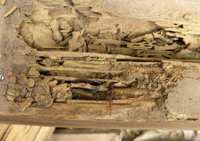 Il legno e le Termiti: gallerie interne. Esternamente il legno è intatto