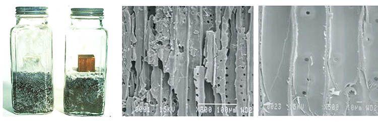 Legno Accoya, Test del fungo bianco e bruno